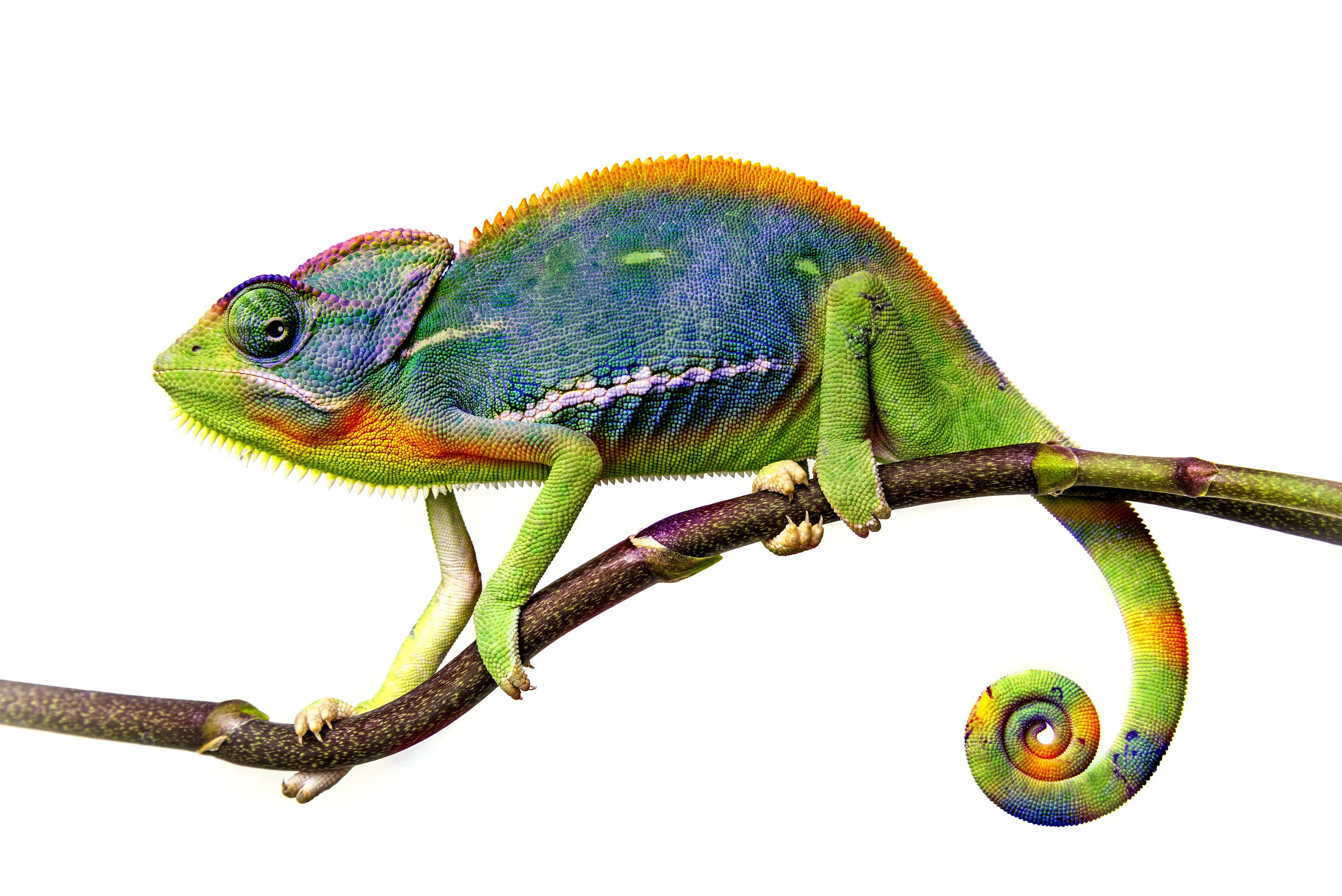 25204895 - chameleon